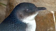 Little Penguin Portrait 01