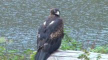 Wedge-Tailed Eagle 02
