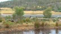 Wedge-Tailed Eagles Roost Near River 04