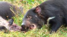 Tasmanian Devil 03