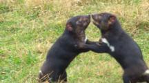 Tasmanian Devil 04
