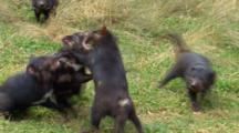 Tasmanian Devil 09