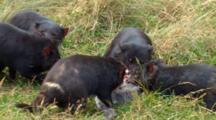 Tasmanian Devil 16