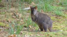 Tasmanian Pademelon 2