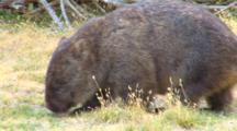 Wombat 01