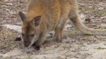 Forester Kangaroo 1