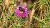 Bumble Bee On Pink Flower 2