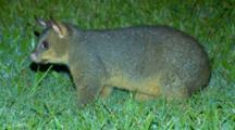 Common Possum Feed On Lawn At Night