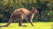 Kangaroo Island Kangaroo Scratches Then Lies Down