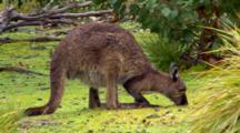 Grazing Kangaroo Island Kangaroo