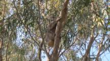 Koala With Joey Climbs Down Eucalyptus Tree, Kangaroo Island
