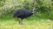 Southern Cassowary Walking In Forest
