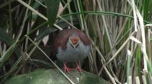 Brush Bronzewing Exits Frame