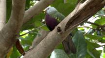 Wompoo Fruit-Dove Perched
