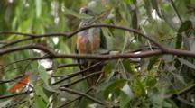 Rose-Crowned Fruit-Dove Perched