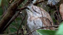 Tawny Frogmouth Perched