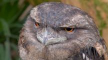 Papuan Frogmouth Perched