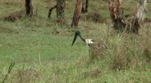 Black-Necked Stork Captures A Snake