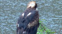 Wedge-Tailed Eagle Perched Next To Water