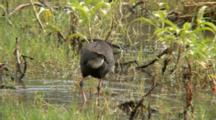 Purple Swamphen Goes To Lay On Nest