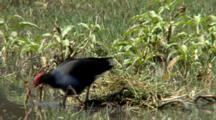 Purple Swamphen Reunite With Chicks