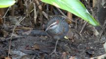 Buff-Banded Rail Grooms