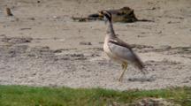Beach Stone-Curlew Walks Away