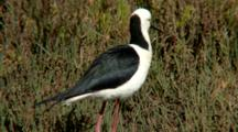 Black-Winged Stilt Grooms