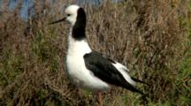 Black-Winged Stilt Rests