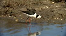Black-Winged Stilt Feeds