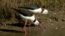 Black-Winged Stilts Feed