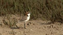Red-Capped Plover Rests And Walks