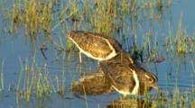 Australian Painted Snipe Feeds In Wetland