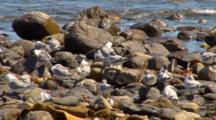 Crested Terns Groom On Rocky Beach