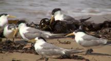 Crested Terns Rest On Rocky Shore