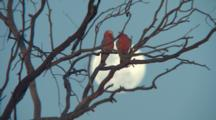 Galahs Perched In Front Of Full Moon