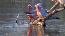 Galahs Drinking From Branch In Water