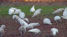 Little Corellas Feed In Grass