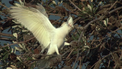 Little Corella Tries To Roost In Tree, Hard To Balance, Falls Off