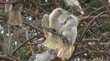 Little Corellas Roost In Tree, One Pair Squabbles