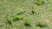 Rainbow Lorikeets (Moluccanus) Feed On Grass