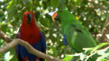 Eclectus Parrots Mate On Branch