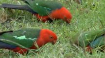Australian King Parrots Feed On Grass