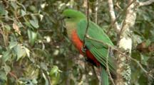 Australian King Parrot Perched (F)