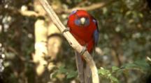 Crimson Rosella (Elegans) Perched On Branch