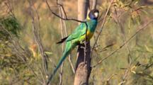 Australian Ringneck (Port Lincoln) Perched