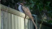 Female Asian Koel Perched On Fence