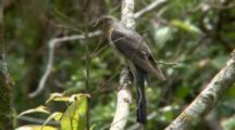 Fan-Tailed Cuckoo Perched On Branch