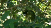Green Catbird Perched In Tree, Preens