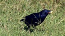 Male Satin Bowerbird Feeds In Grass